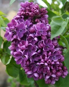 Lilac Yankee Doodle comp 042711 (2)